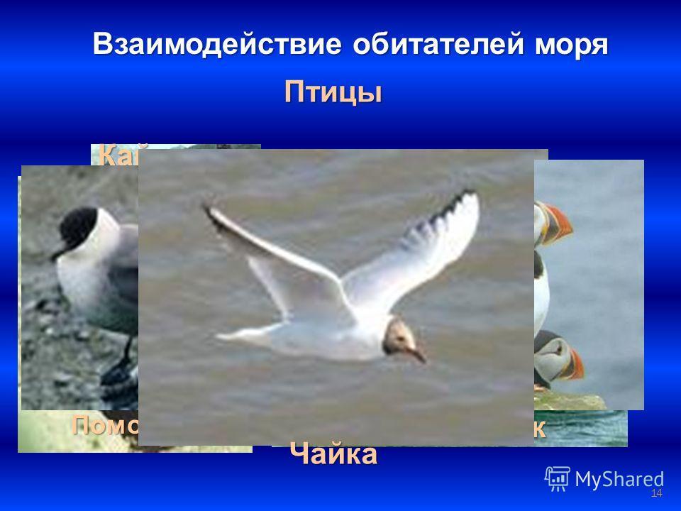 14 Птицы Взаимодействие обитателей моря БакланПингвин Альбатрос Гага Гагара Кайра ПоморникТупик Чайка