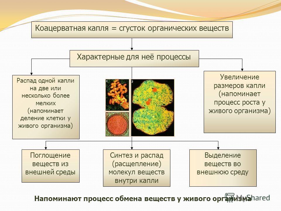 Коацерватная капля = сгусток органических веществ Характерные для неё процессы Распад одной капли на две или несколько более мелких (напоминает деление клетки у живого организма) Увеличение размеров капли (напоминает процесс роста у живого организма)