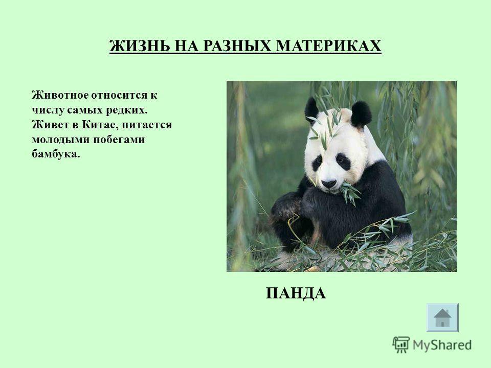Животное относится к числу самых редких. Живет в Китае, питается молодыми побегами бамбука. ПАНДА