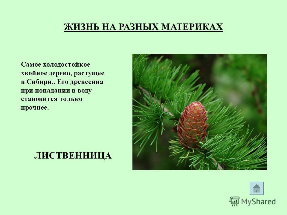 ЖИЗНЬ НА РАЗНЫХ МАТЕРИКАХ Самое холодостойкое хвойное дерево, растущее в Сибири.. Его древесина при попадании в воду становится только прочнее. ЛИСТВЕННИЦА