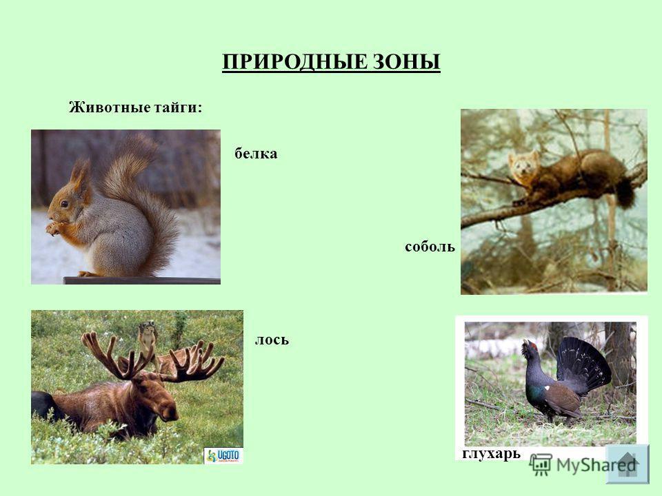 ПРИРОДНЫЕ ЗОНЫ Животные тайги: белка соболь лось глухарь