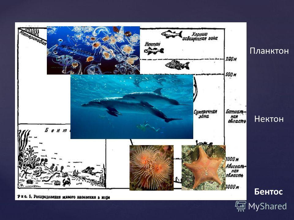 Планктон Нектон Бентос