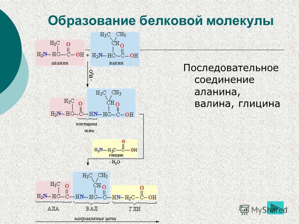 Образование белковой молекулы Последовательное соединение аланина, валина, глицина