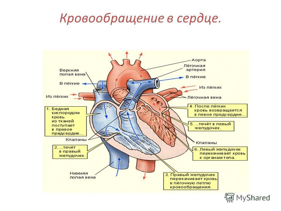 Кровообращение в сердце.