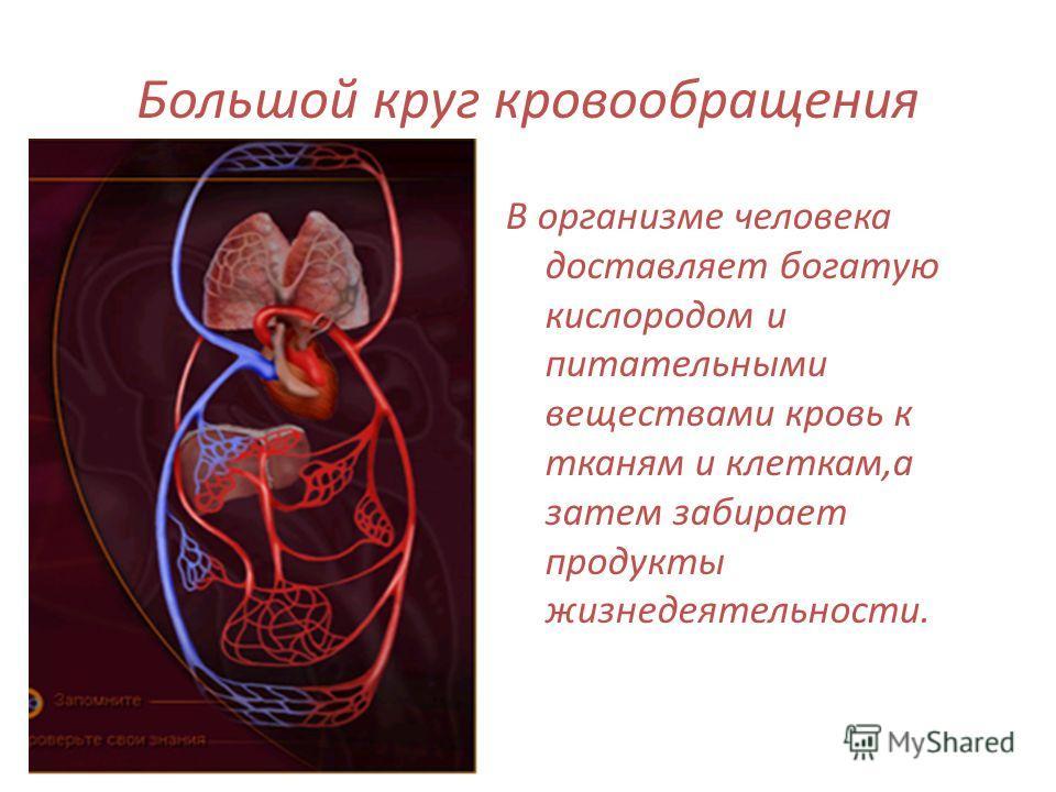 Большой круг кровообращения В организме человека доставляет богатую кислородом и питательными веществами кровь к тканям и клеткам,а затем забирает продукты жизнедеятельности.