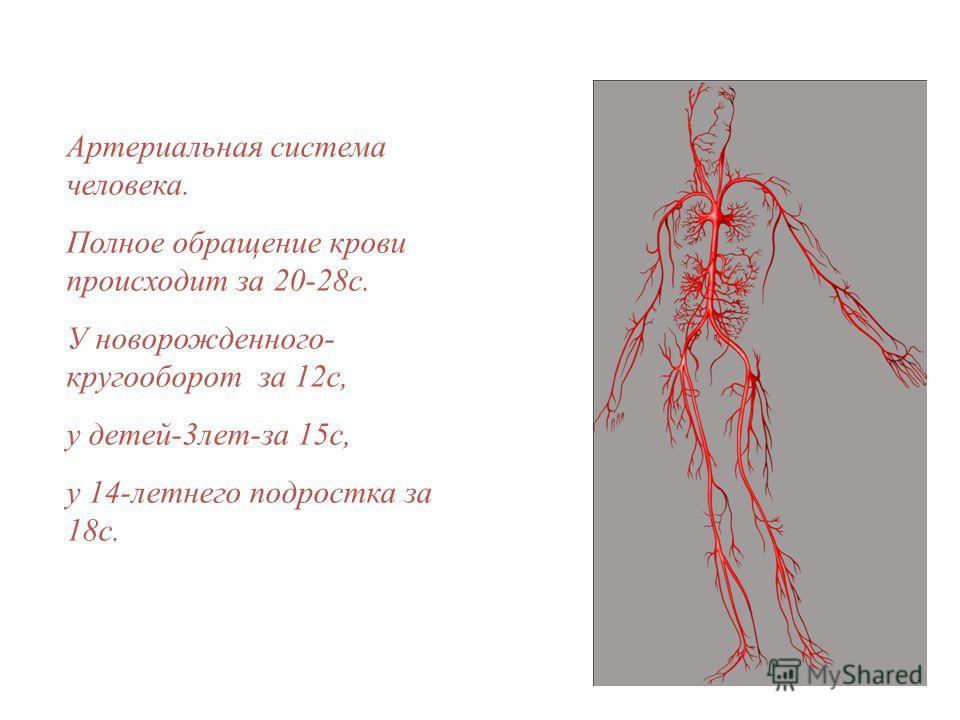Артериальная система человека. Полное обращение крови происходит за 20-28с. У новорожденного- кругооборот за 12с, у детей-3лет-за 15с, у 14-летнего подростка за 18с.