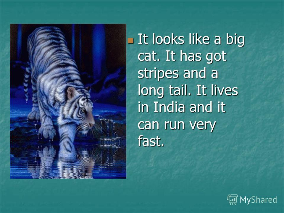 It looks like a big cat. It has got stripes and a long tail. It lives in India and it can run very fast. It looks like a big cat. It has got stripes and a long tail. It lives in India and it can run very fast.