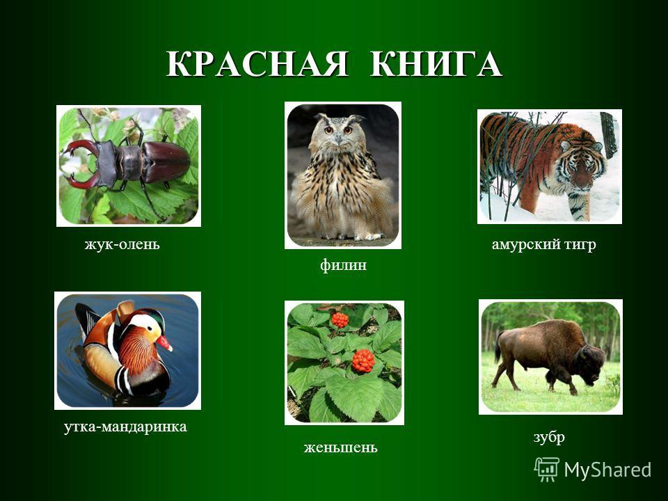 жук-олень утка-мандаринка филин амурский тигр женьшень зубр