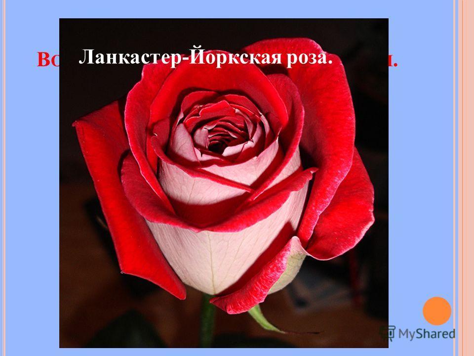 В ОЙНА АЛОЙ И БЕЛОЙ РОЗЫ В А НГЛИИ. Ланкастер-Йоркская роза.