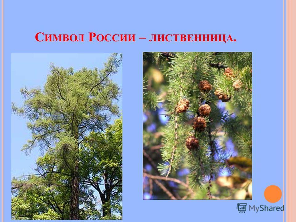 С ИМВОЛ Р ОССИИ – ЛИСТВЕННИЦА.