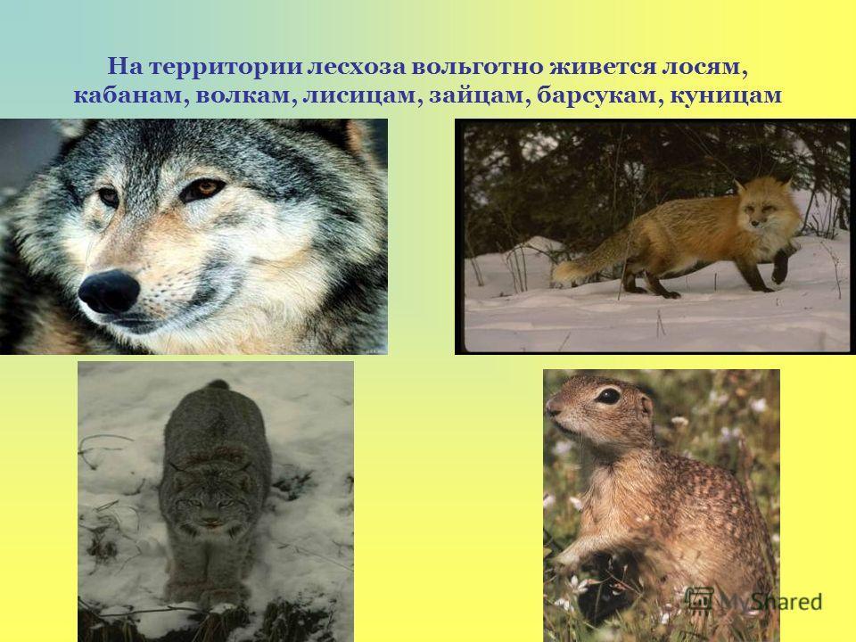 На территории лесхоза вольготно живется лосям, кабанам, волкам, лисицам, зайцам, барсукам, куницам