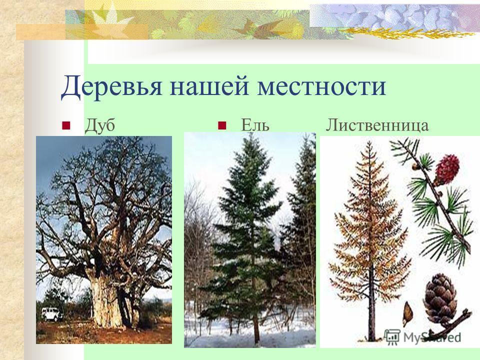 Деревья нашей местности Дуб Ель Лиственница