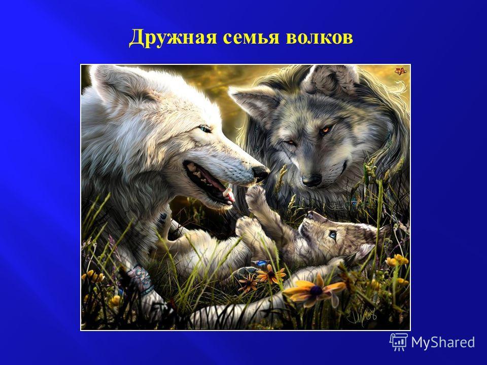 Дружная семья волков