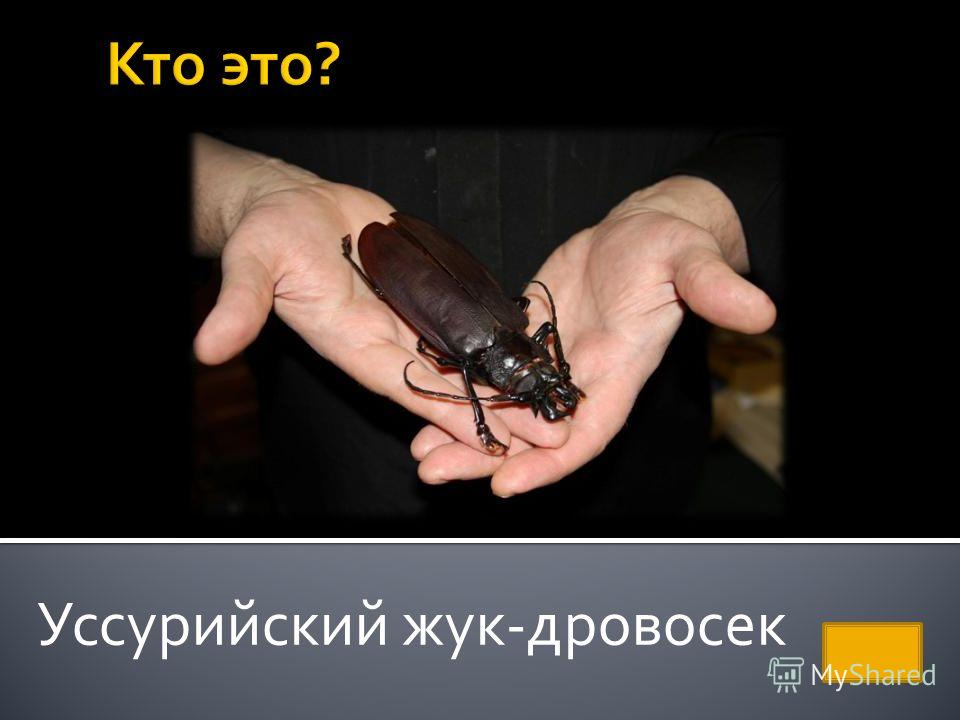 Уссурийский жук-дровосек