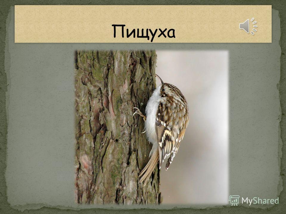 Птица-кривоноска, Над глазком полоска, Все стволы проверила: Снизу вверх промерила.