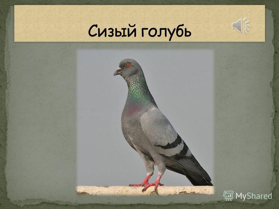 Эта птица сизокрылая любит семечки клевать И тихонько ворковать.