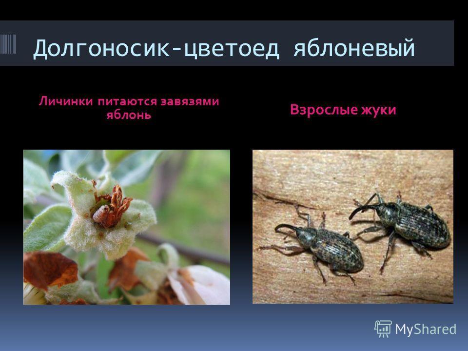 Долгоносик-цветоед яблоневый Личинки питаются завязями яблонь Взрослые жуки