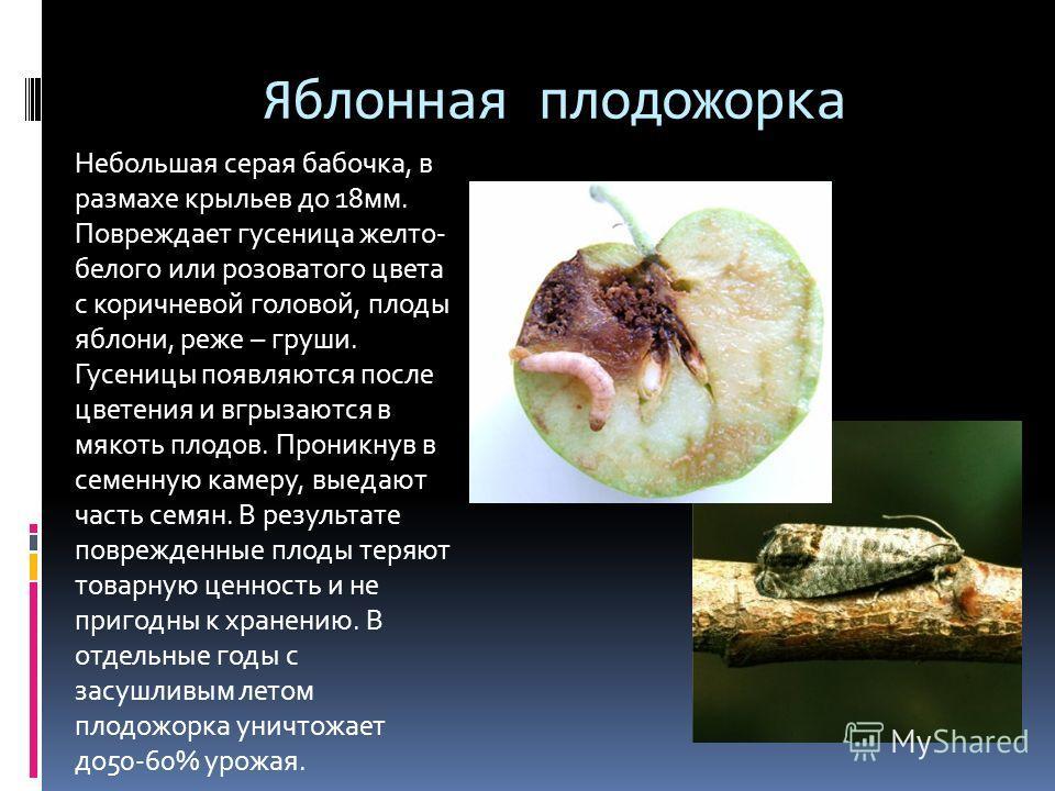 Яблонная плодожорка Небольшая серая бабочка, в размахе крыльев до 18мм. Повреждает гусеница желто- белого или розоватого цвета с коричневой головой, плоды яблони, реже – груши. Гусеницы появляются после цветения и вгрызаются в мякоть плодов. Проникну
