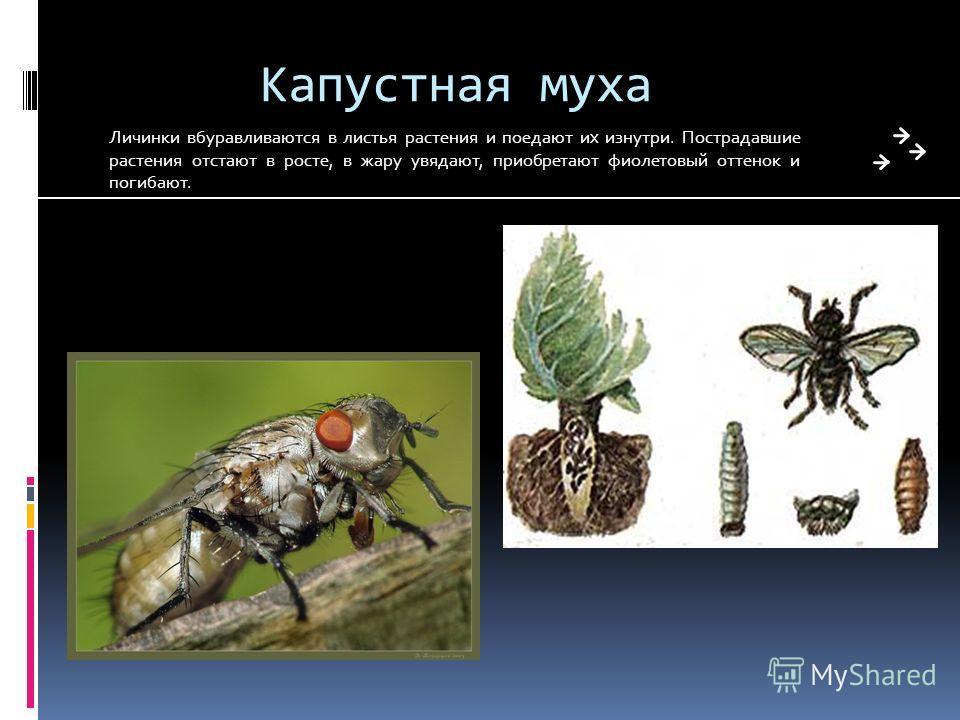 Капустная муха Личинки вбуравливаются в листья растения и поедают их изнутри. Пострадавшие растения отстают в росте, в жару увядают, приобретают фиолетовый оттенок и погибают.