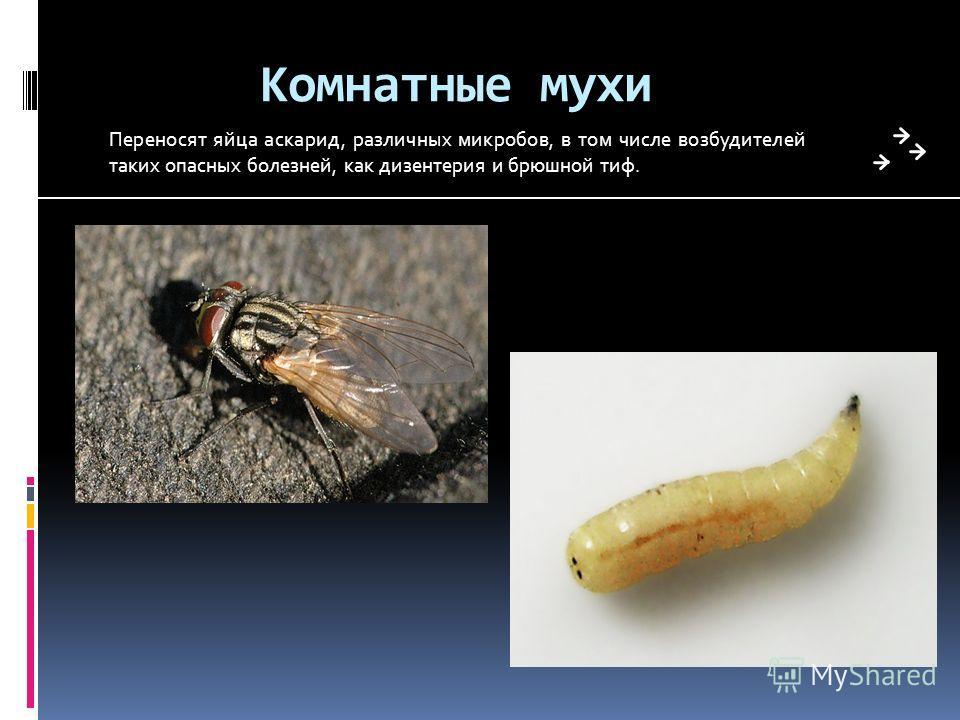 Комнатные мухи Переносят яйца аскарид, различных микробов, в том числе возбудителей таких опасных болезней, как дизентерия и брюшной тиф.