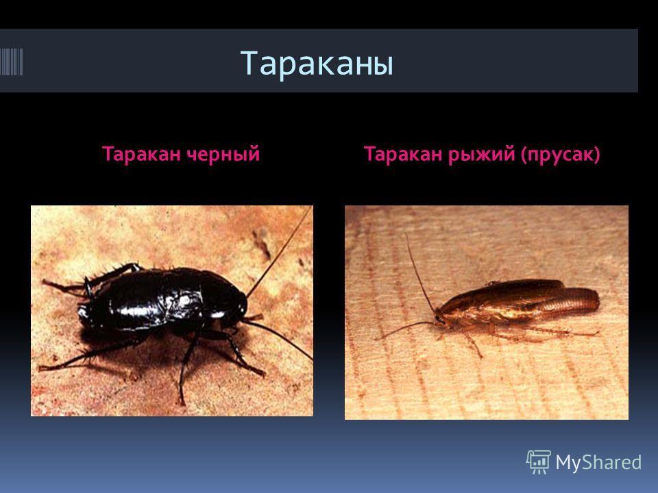 Тараканы Таракан черныйТаракан рыжий (прусак)