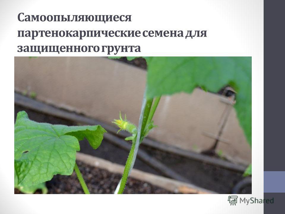 Самоопыляющиеся партенокарпические семена для защищенного грунта