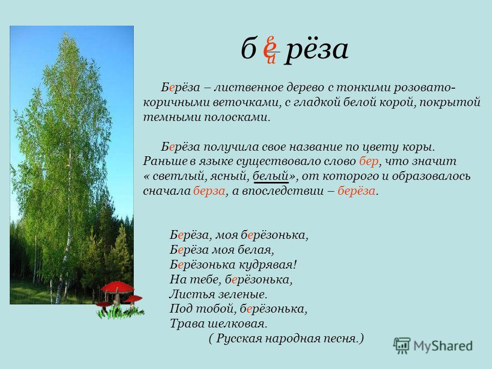 б рёза Берёза – лиственное дерево с тонкими розовато- коричными веточками, с гладкой белой корой, покрытой темными полосками. Берёза получила свое название по цвету коры. Раньше в языке существовало слово бер, что значит « светлый, ясный, белый», от