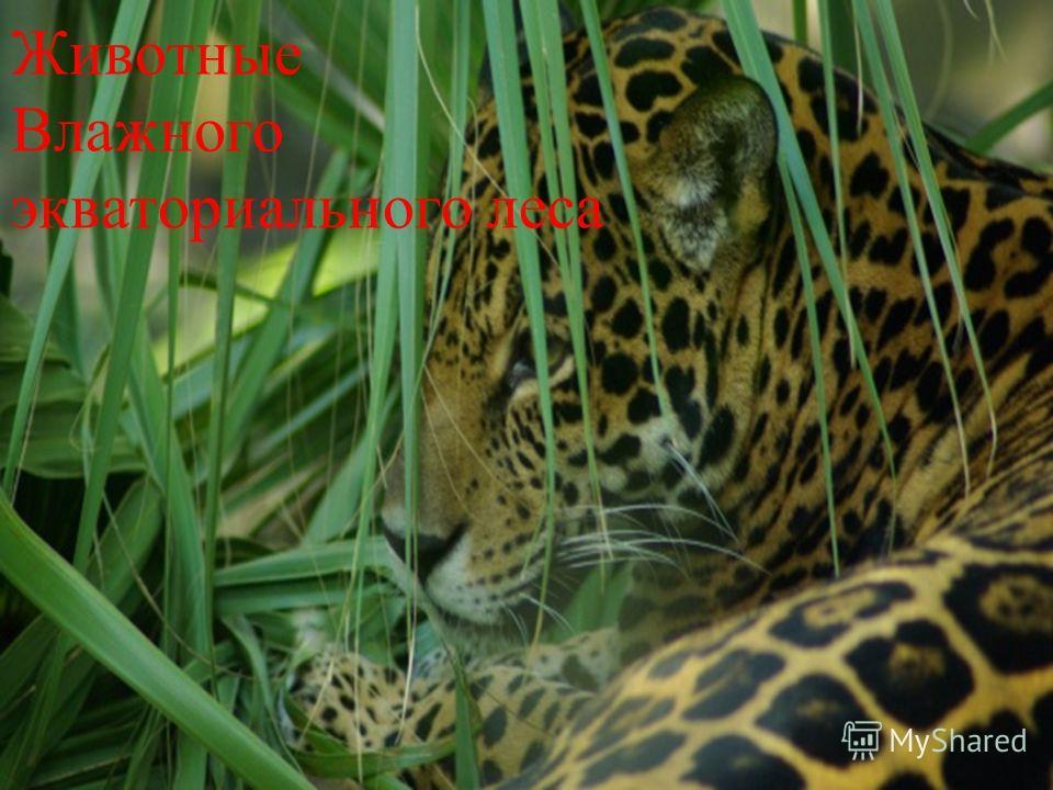 Животные Влажного экваториального леса