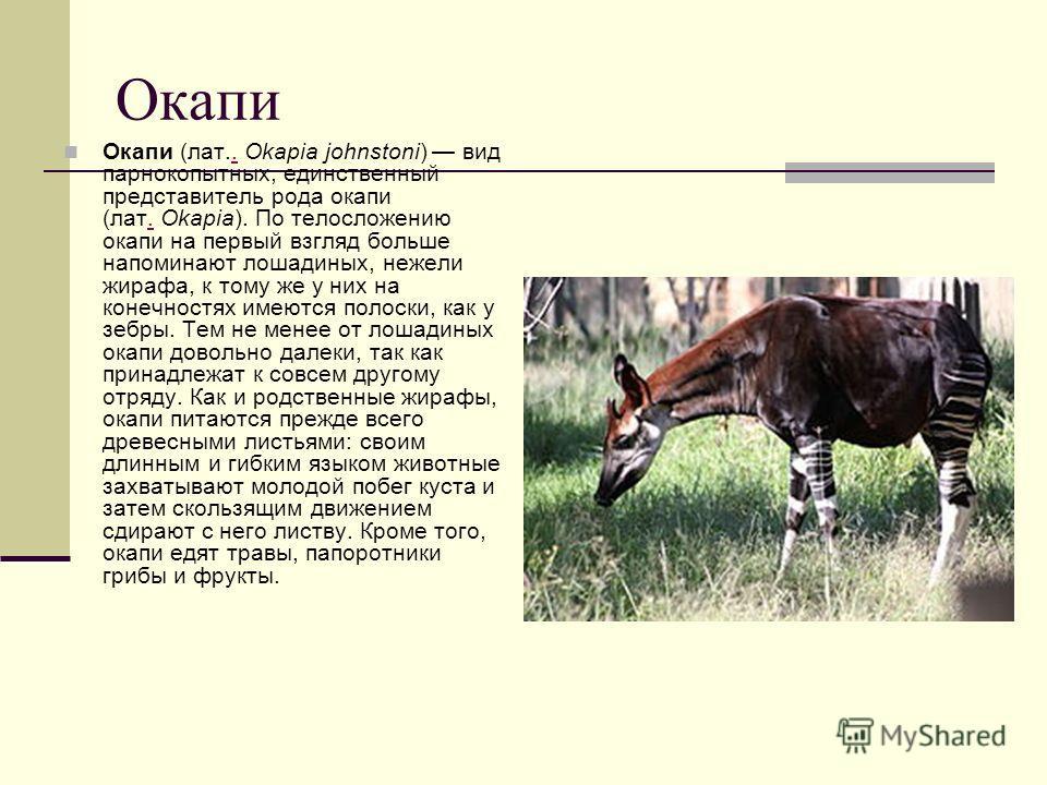 Окапи Окапи (лат.. Okapia johnstoni) вид парнокопытных, единственный представитель рода окапи (лат. Okapia). По телосложению окапи на первый взгляд больше напоминают лошадиных, нежели жирафа, к тому же у них на конечностях имеются полоски, как у зебр