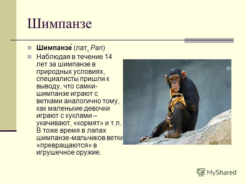 Шимпанзе Шимпанзе́ (лат. Pan). Наблюдая в течение 14 лет за шимпанзе в природных условиях, специалисты пришли к выводу, что самки- шимпанзе играют с ветками аналогично тому, как маленькие девочки играют с куклами – укачивают, «кормят» и т.п. В тоже в