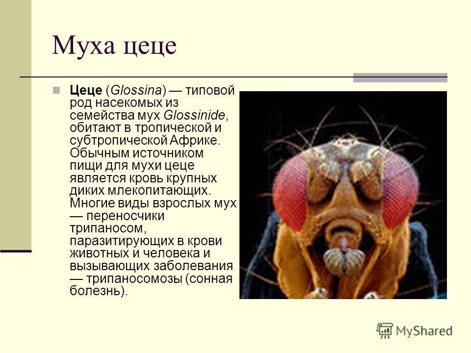 Муха цеце Цеце (Glossina) типовой род насекомых из семейства мух Glossinide, обитают в тропической и субтропической Африке. Обычным источником пищи для мухи цеце является кровь крупных диких млекопитающих. Многие виды взрослых мух переносчики трипано