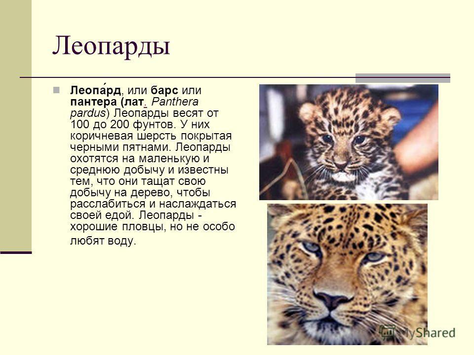 Леопарды Леопа́рд, или барс или пантера (лат. Panthera pardus) Леопарды весят от 100 до 200 фунтов. У них коричневая шерсть покрытая черными пятнами. Леопарды охотятся на маленькую и среднюю добычу и известны тем, что они тащат свою добычу на дерево,