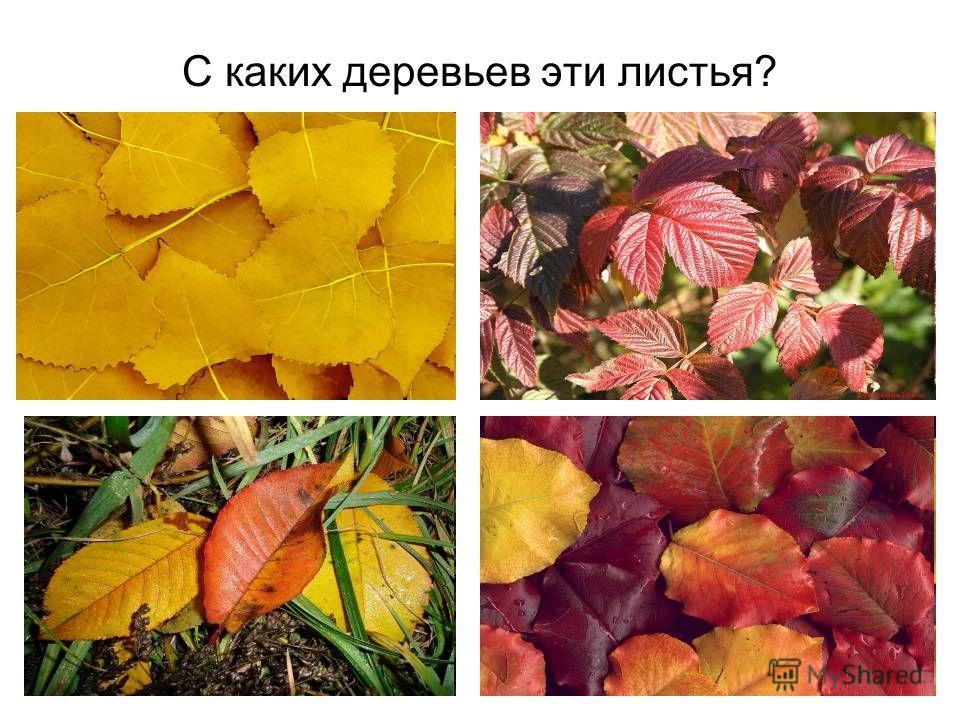 как окрашиваются листья деревьев осенью самая
