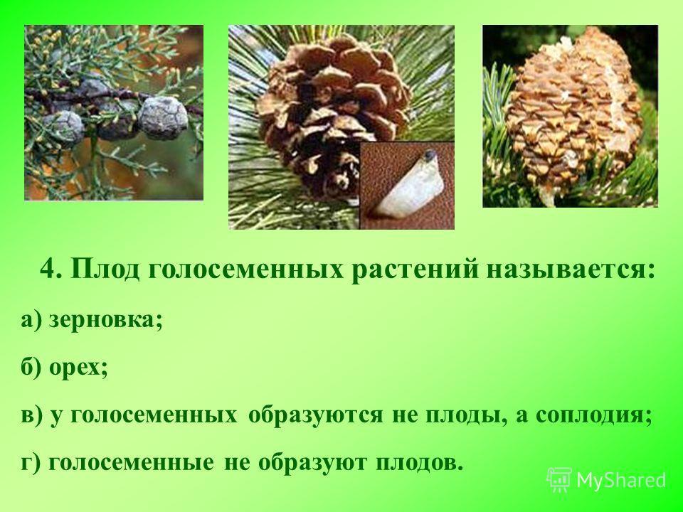 4. Плод голосеменных растений называется: а) зерновка; б) орех; в) у голосеменных образуются не плоды, а соплодия; г) голосеменные не образуют плодов.