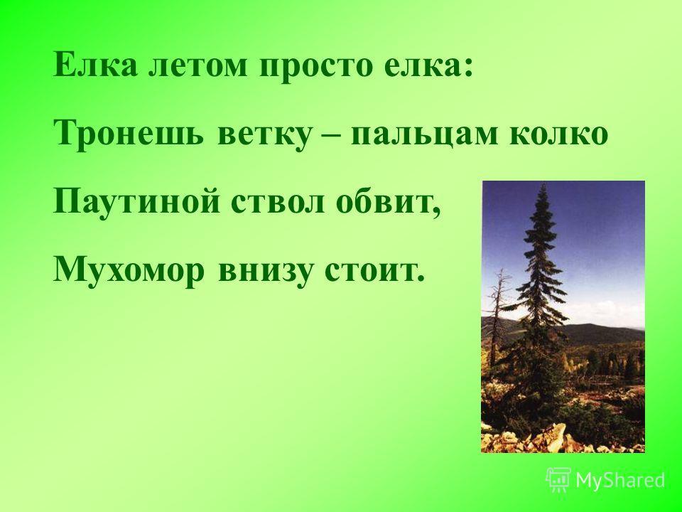 Елка летом просто елка: Тронешь ветку – пальцам колко Паутиной ствол обвит, Мухомор внизу стоит.