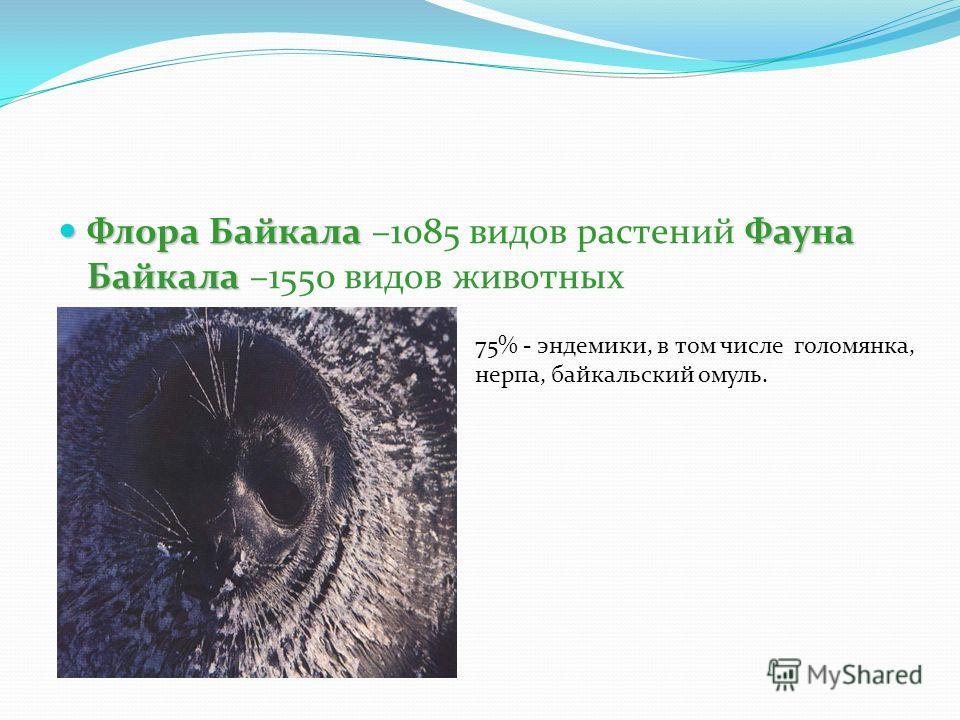 Флора БайкалаФауна Байкала Флора Байкала –1085 видов растений Фауна Байкала –1550 видов животных 75% - эндемики, в том числе голомянка, нерпа, байкальский омуль.