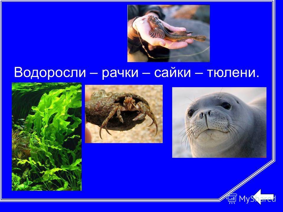 Водоросли – рачки – сайки – тюлени.