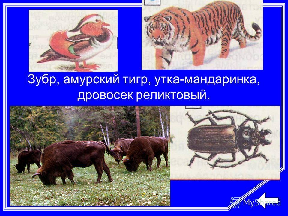 Зубр, амурский тигр, утка-мандаринка, дровосек реликтовый.