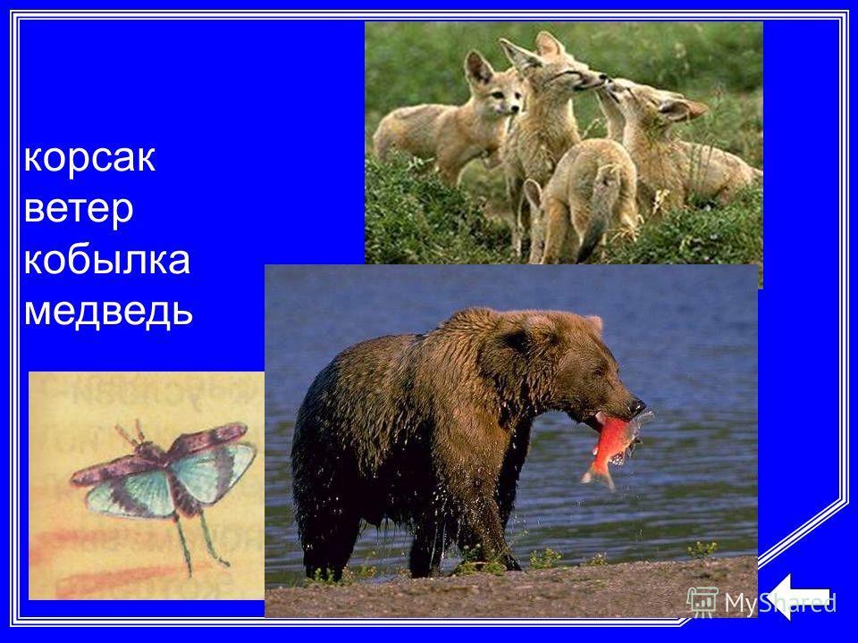 корсак ветер кобылка медведь