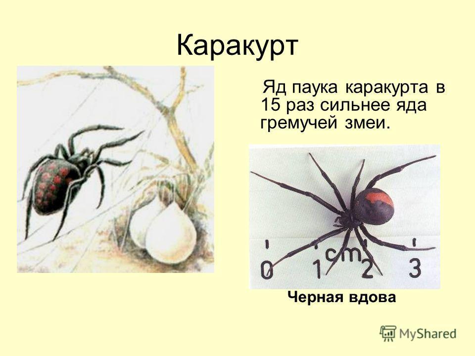 Каракурт Яд паука каракурта в 15 раз сильнее яда гремучей змеи. Черная вдова