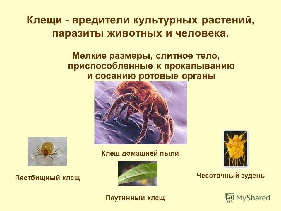 Клещи - вредители культурных растений, паразиты животных и человека. Мелкие размеры, слитное тело, приспособленные к прокалыванию и сосанию ротовые органы Клещ домашней пыли Чесоточный зудень Паутинный клещ Пастбищный клещ