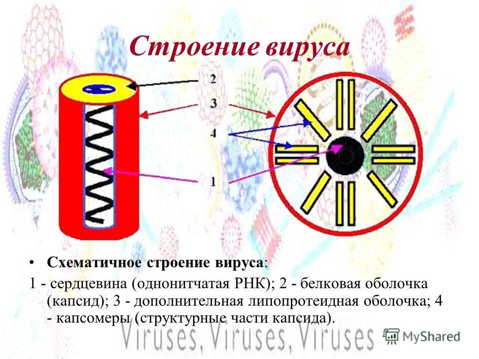 Строение вируса Схематичное строение вируса: 1 - сердцевина (однонитчатая РНК); 2 - белковая оболочка (капсид); 3 - дополнительная липопротеидная оболочка; 4 - капсомеры (структурные части капсида).