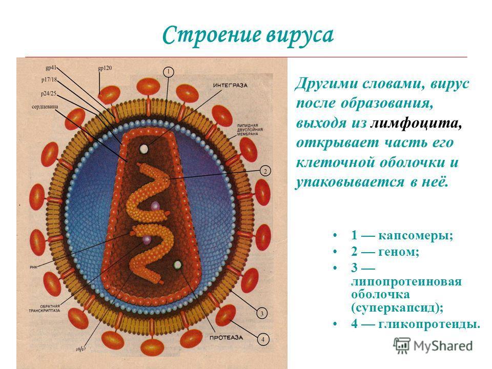 Строение вируса 1 капсомеры; 2 геном; 3 липопротеиновая оболочка (суперкапсид); 4 гликопротеиды. Другими словами, вирус после образования, выходя из лимфоцита, открывает часть его клеточной оболочки и упаковывается в неё.