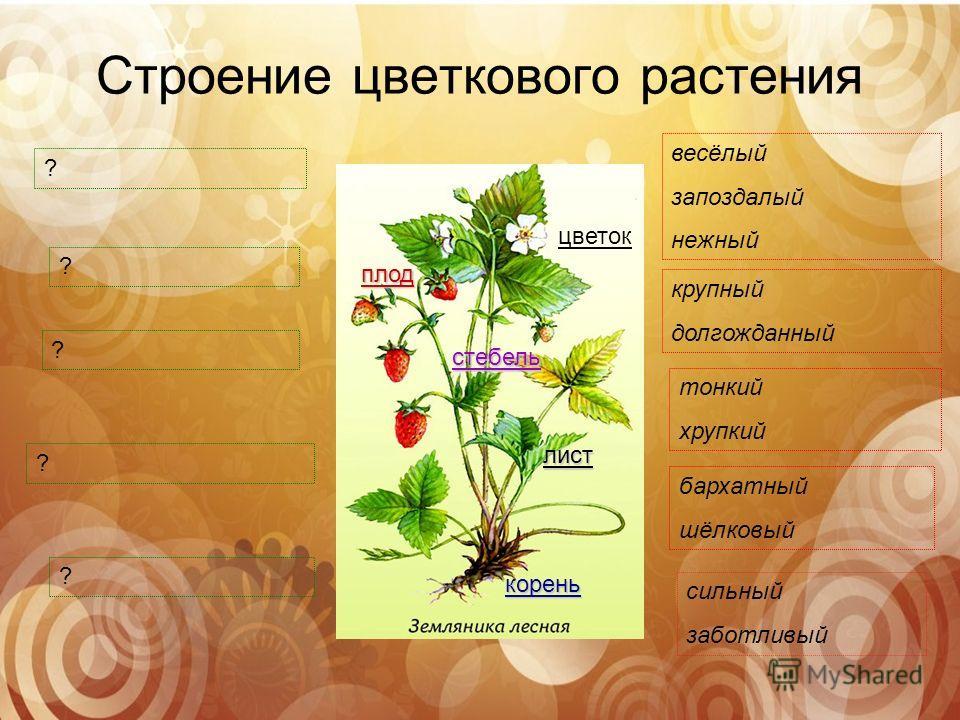 Строение цветкового растения цветок плод стебель лист корень ? ? ? ? ? сильный заботливый бархатный шёлковый тонкий хрупкий крупный долгожданный весёлый запоздалый нежный