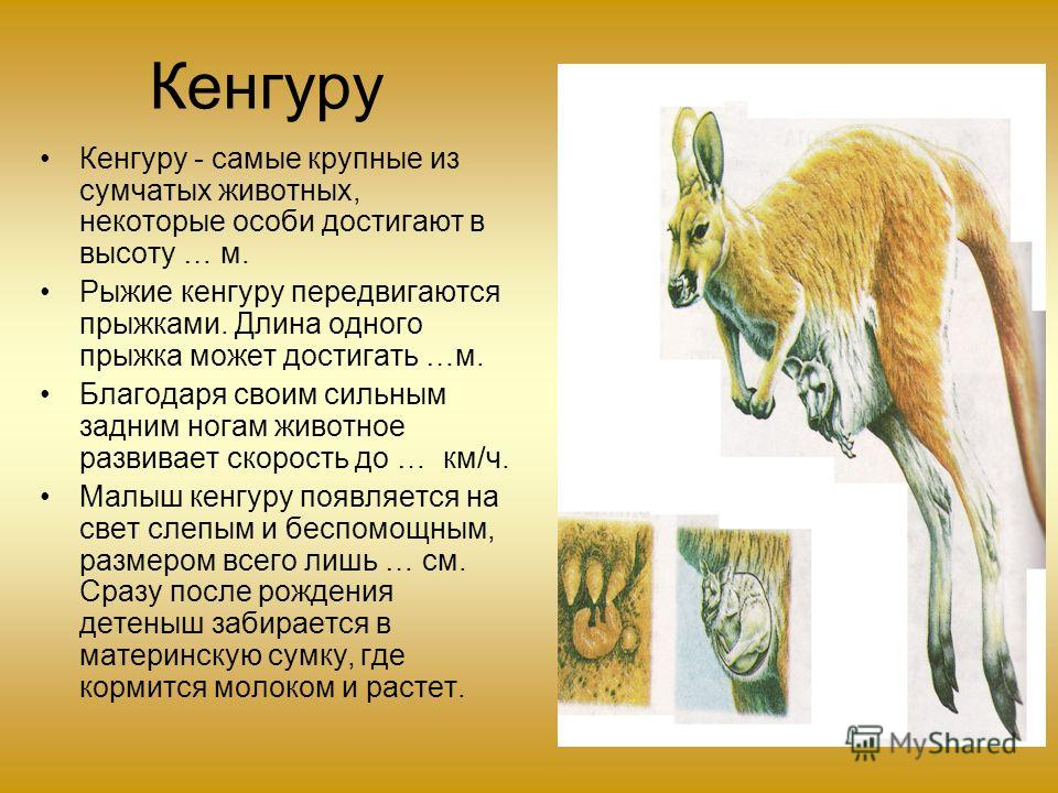 Кенгуру Кенгуру - самые крупные из сумчатых животных, некоторые особи достигают в высоту … м. Рыжие кенгуру передвигаются прыжками. Длина одного прыжка может достигать …м. Благодаря своим сильным задним ногам животное развивает скорость до … км/ч. Ма