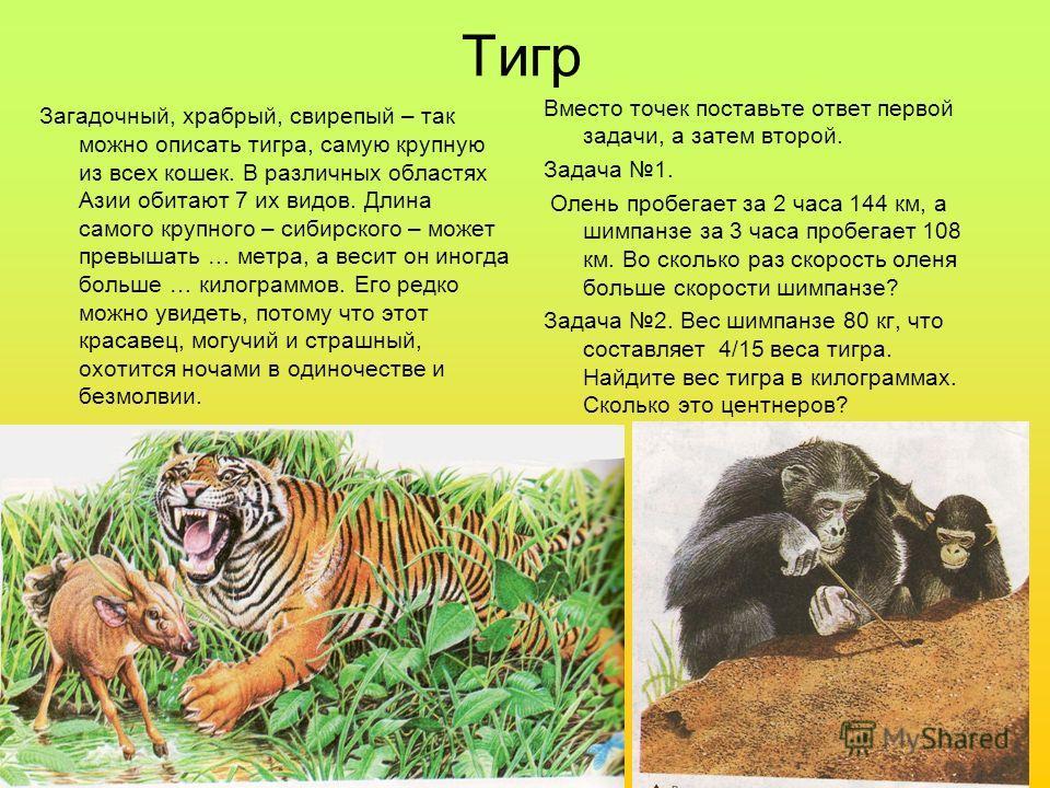 Тигр Загадочный, храбрый, свирепый – так можно описать тигра, самую крупную из всех кошек. В различных областях Азии обитают 7 их видов. Длина самого крупного – сибирского – может превышать … метра, а весит он иногда больше … килограммов. Его редко м