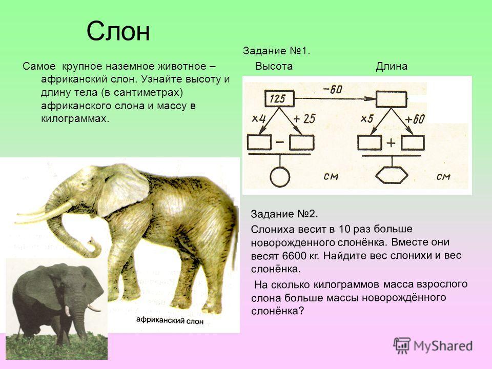 Слон Самое крупное наземное животное – африканский слон. Узнайте высоту и длину тела (в сантиметрах) африканского слона и массу в килограммах. Задание 1. Высота Длина Задание 2. Слониха весит в 10 раз больше новорожденного слонёнка. Вместе они весят