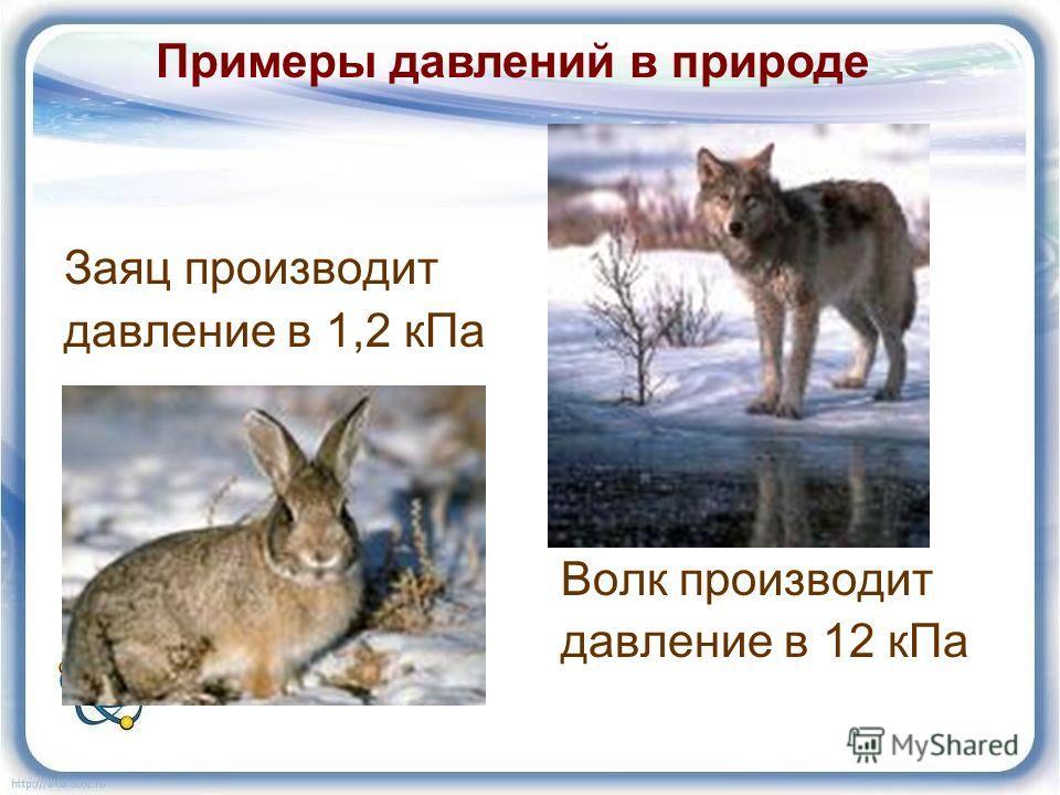 Заяц производит давление в 1,2 кПа Волк производит давление в 12 кПа Примеры давлений в природе