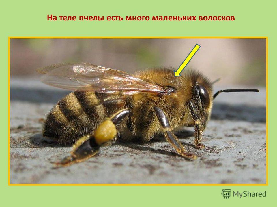 На теле пчелы есть много маленьких волосков