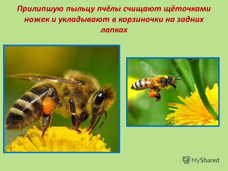 Прилипшую пыльцу пчёлы счищают щёточками ножек и укладывают в корзиночки на задних лапках